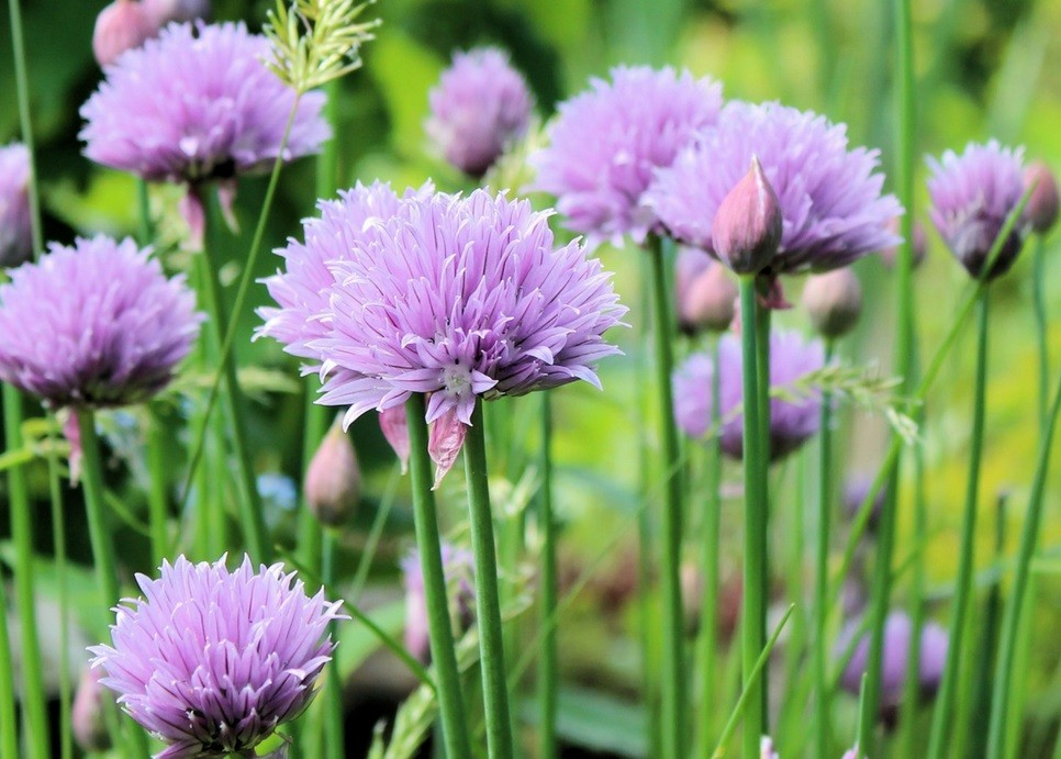 chives in summer